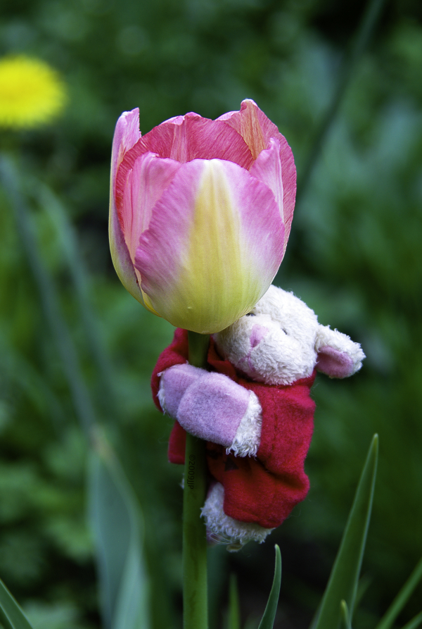 Little sheep on a Tulip