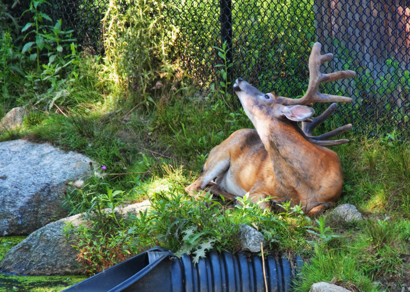 A deer with an Itchy back