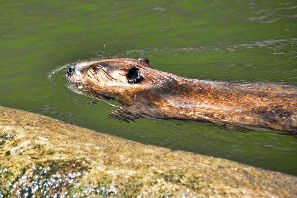 A beaver swimming along