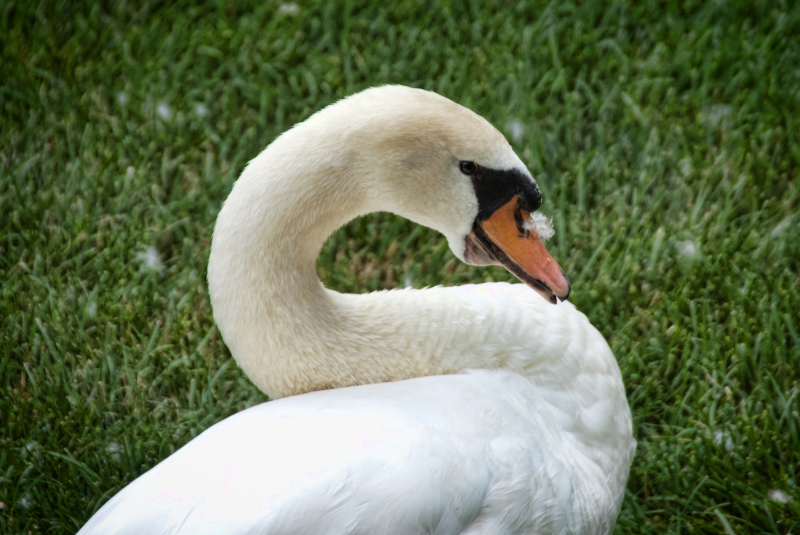 Annoying Feather on Goose