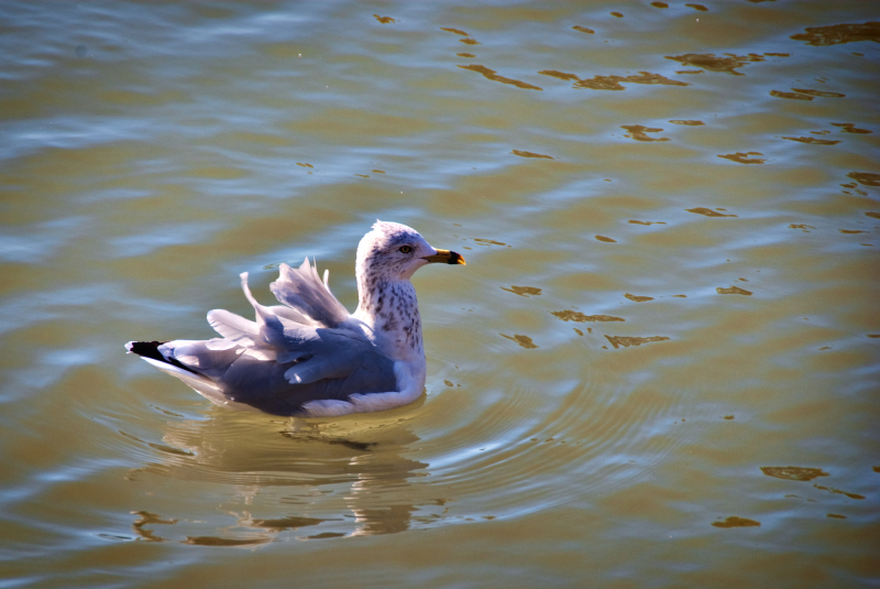 A pigeon with ruffled feathers