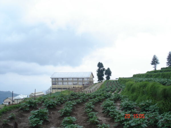 Potatoesbeing grown at fagu top at height of9000ft