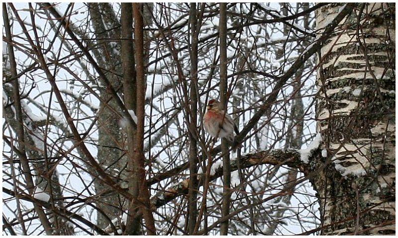 The Common Redpoll