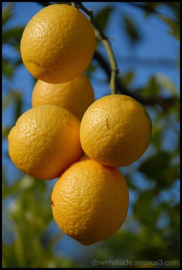 A Gaggle of Lemons