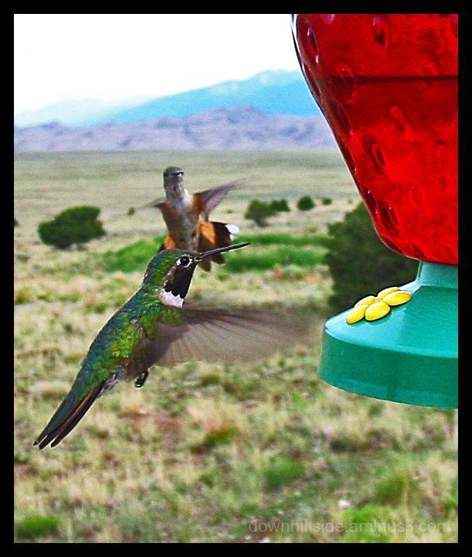 Hummingbirds - Great Sand Dunes Nat'l Park