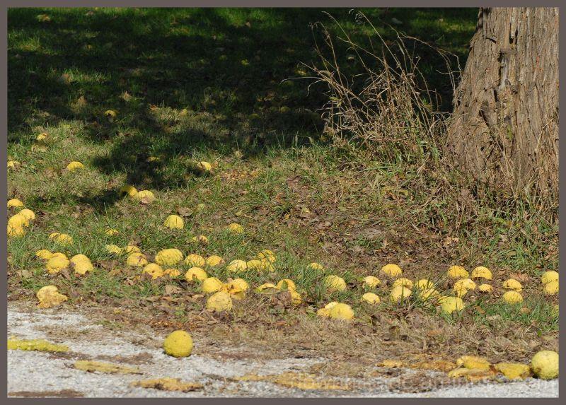 Hedge Apples
