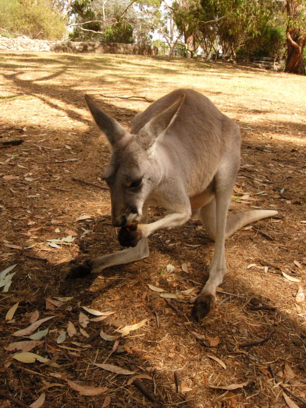 A young kangaroo nibbling on some food.