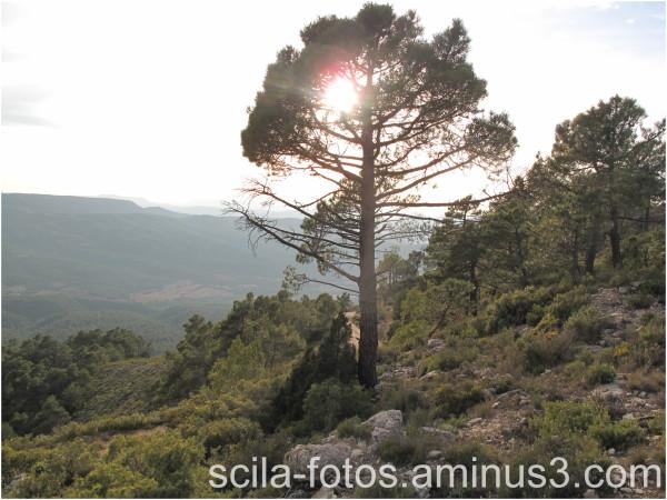 Pino-al-sol
