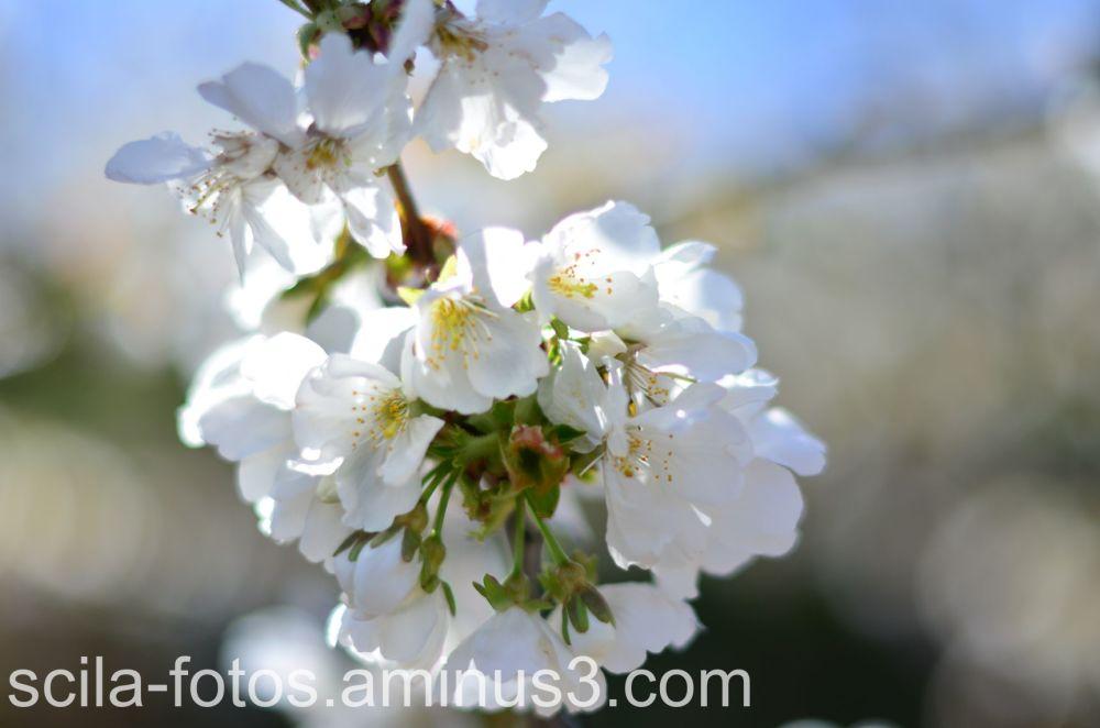 flor del cerezo-Valle del Jerte.