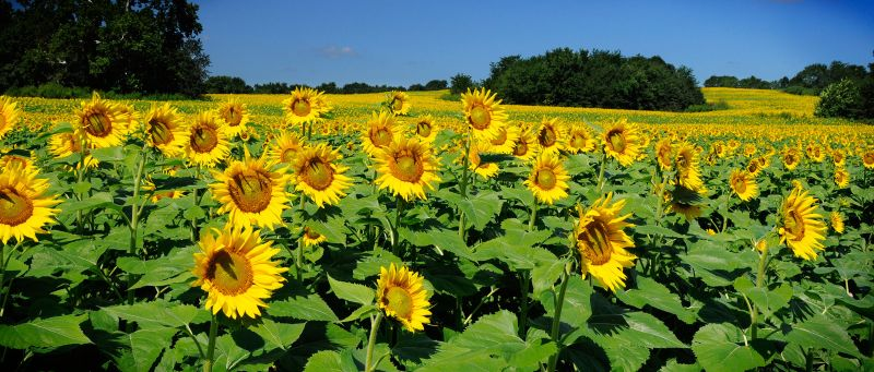 Sunflower pano