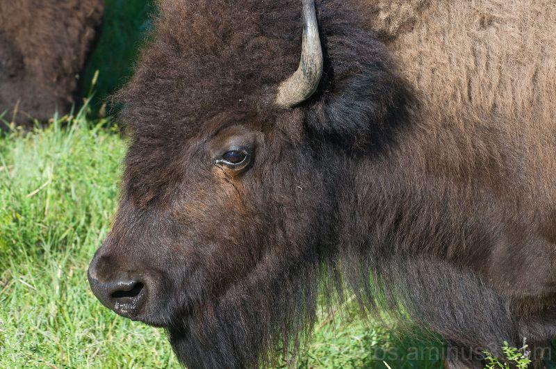 Buffalo Mama