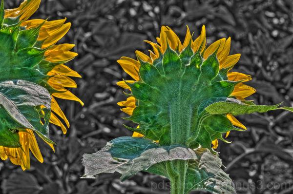Backlit Sunflowers