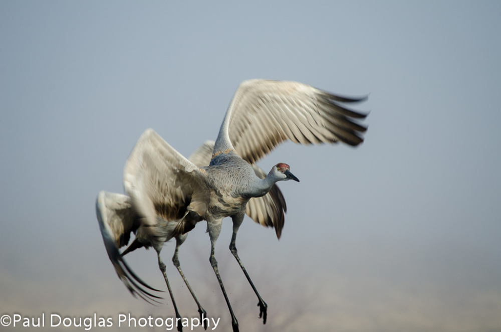 Sandhill Cranes on take-off