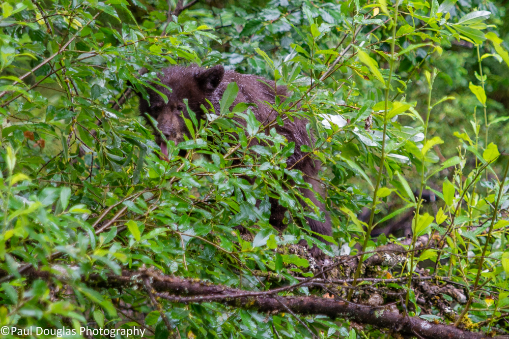 Rainforest Hike 4 - Black Bear Cub