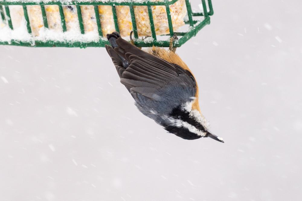 Blizzard Birds - 4