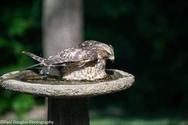 Hawk in a birdbath - 1