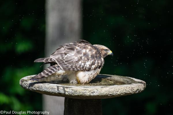 Hawk in a birdbath - 2