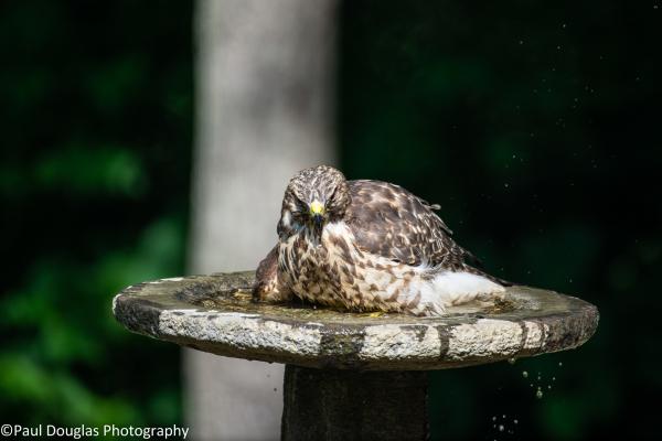 Hawk in a birdbath - 5