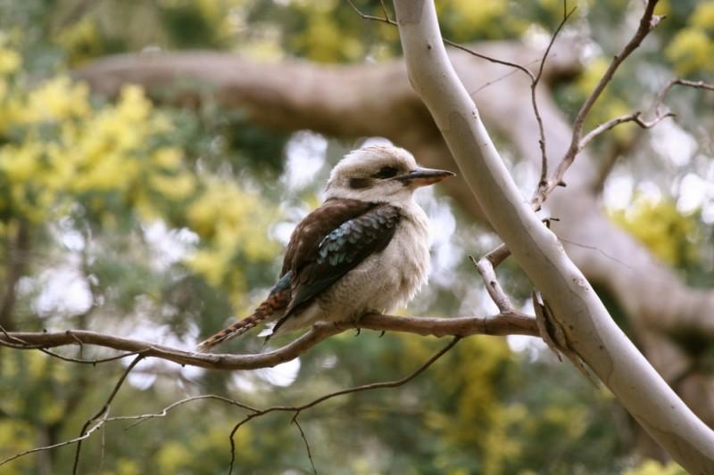 Kookaburra in the wild