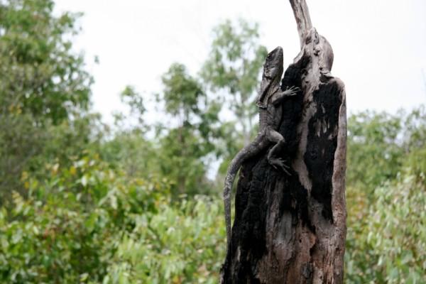 Lizard on a tree stump
