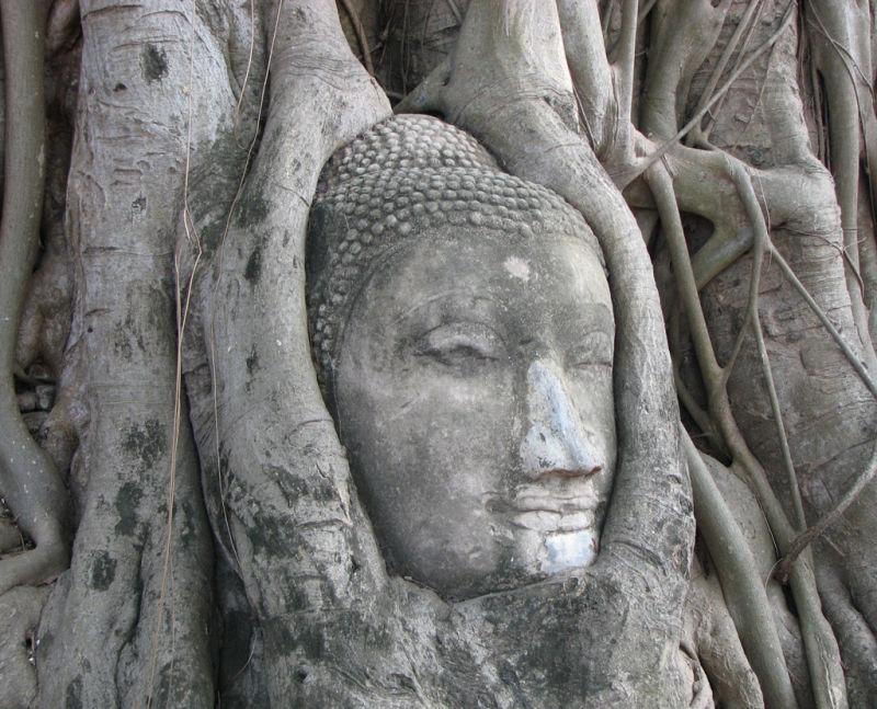 Buddha head in a tree