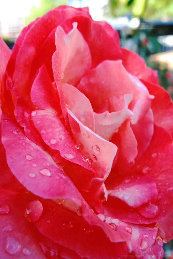 red rose, adelaide, SA