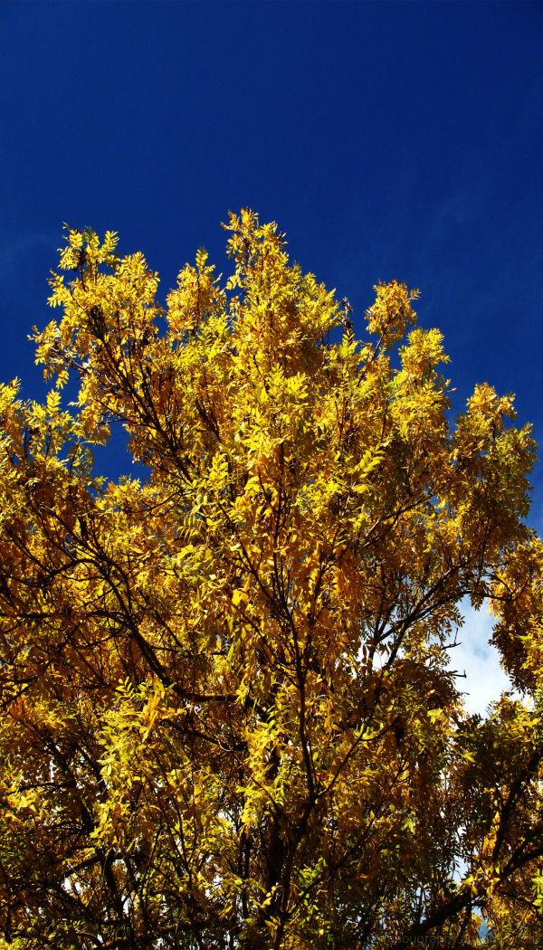 yellow tree, seven hill, clare valley, SA
