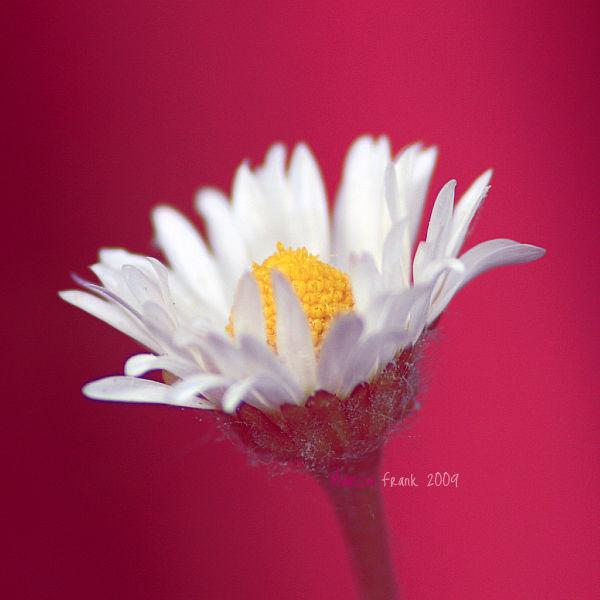 Daisy (188)