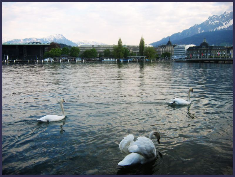Swans on  the Reuss River, Lucern