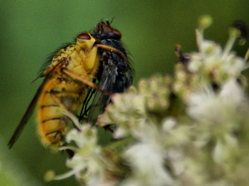 A Hoverfly captures it's prey