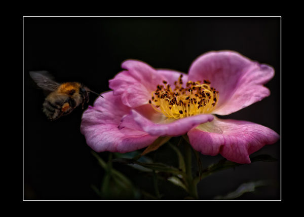 Bee and Rose