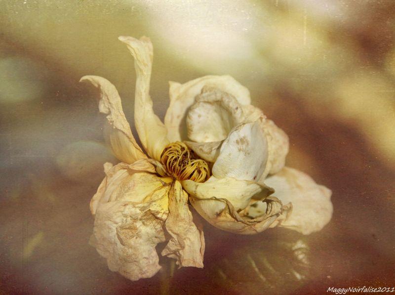 Rose fanée......