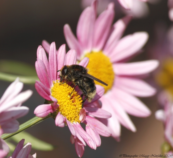Petite abeille butine.