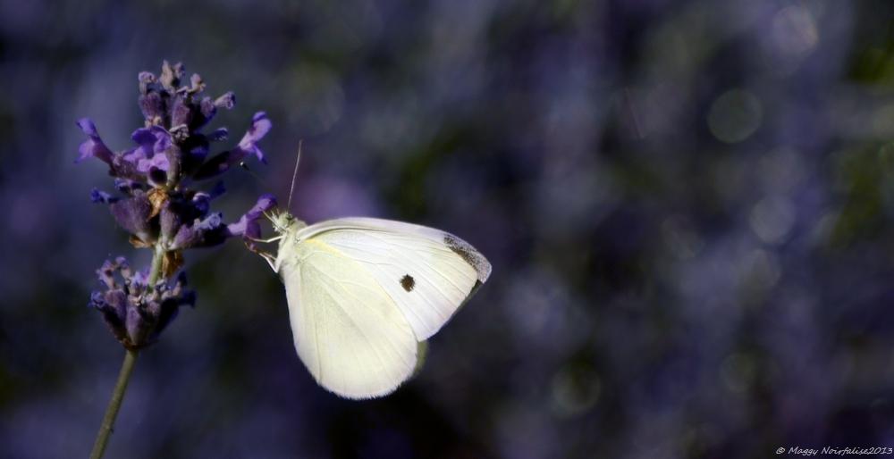 Joli papillon blanc.