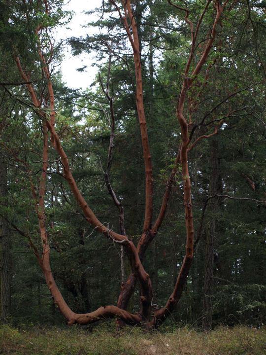 Tree Roche Harbor