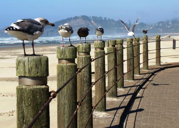 Seagulls Nye Beach