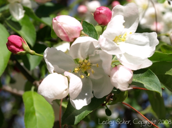 Friday Florist/Flowering Crab Apple