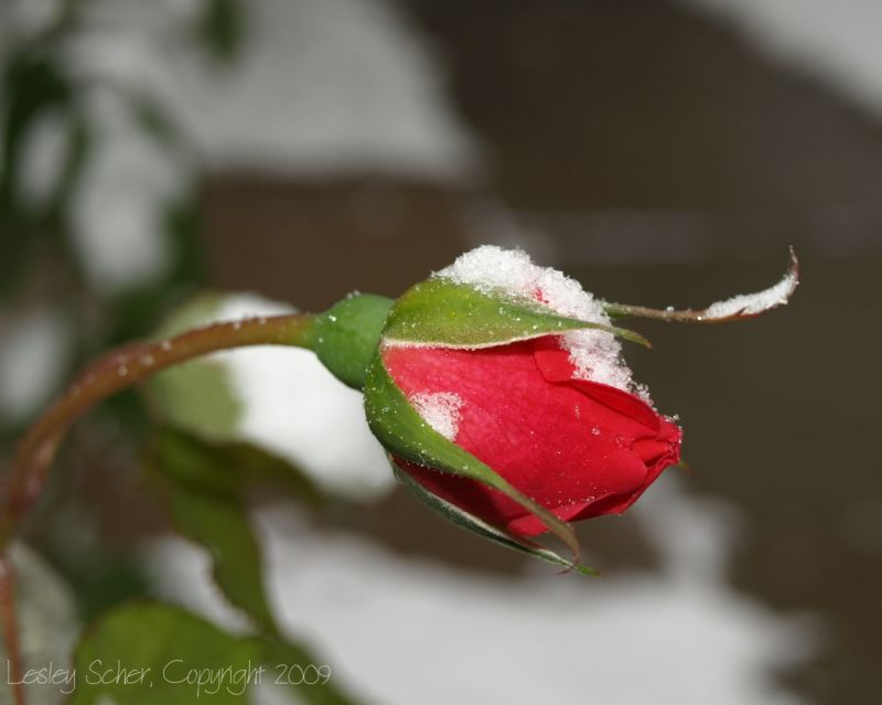 Snowy Rosebud