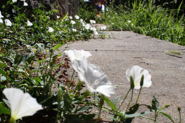 Flowers in the sidewalk cracks
