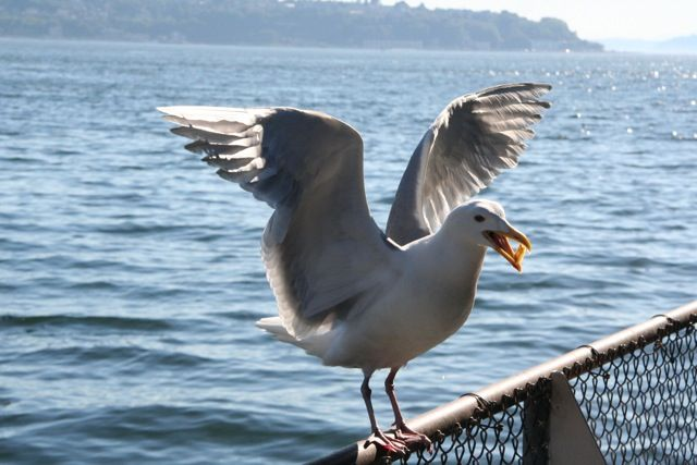 Seagull Eating French Fry