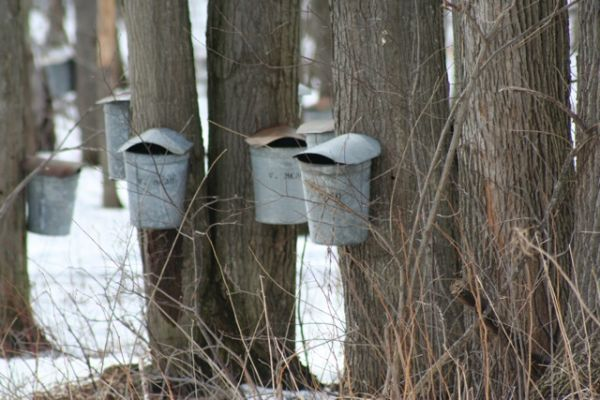 Maple Syrup Collectors