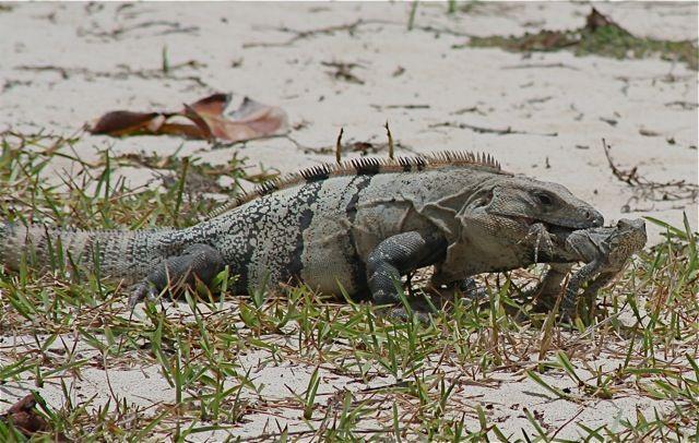 Iguana in Mouth of Larger Iguana