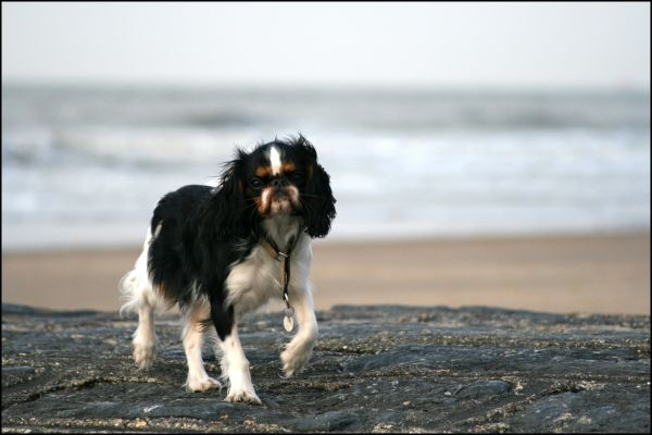 dog, spaniel, ets, king charles spaniel, beach