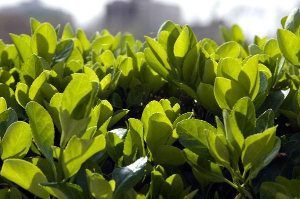 Green leavs