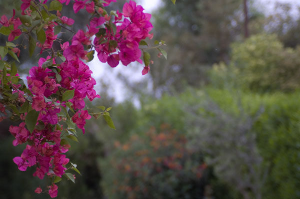 Pink flower racemose