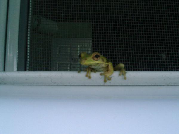 Frog in the window slats