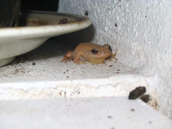 A coqui singing