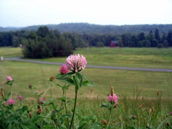 Clover in Pennsylvania