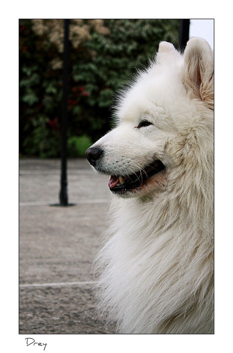 Tsuki dog samoyed