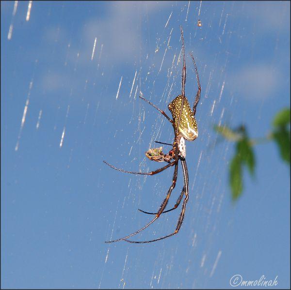Estrenge spider